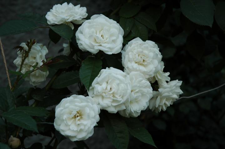 Белая роза - эмблема...