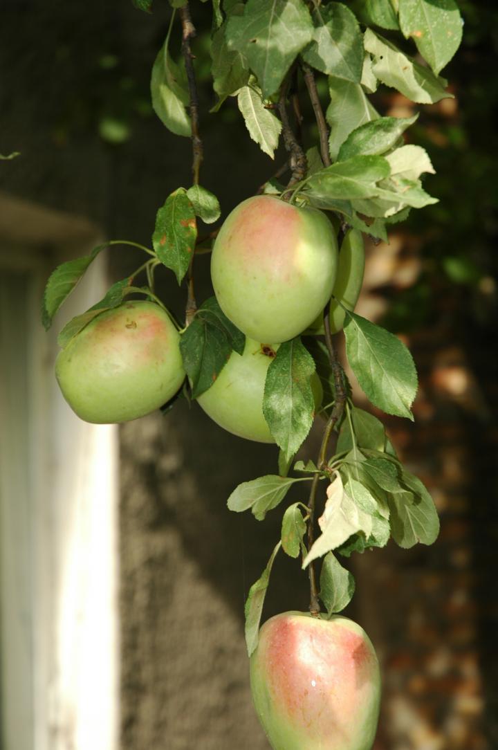 Талгарские яблочки